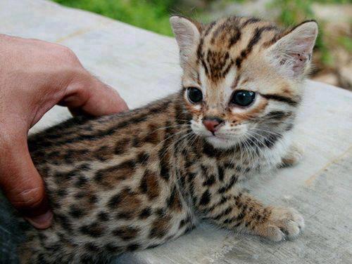 Photo d 39 un petit chaton bengale - Chaton bengal gratuit ...
