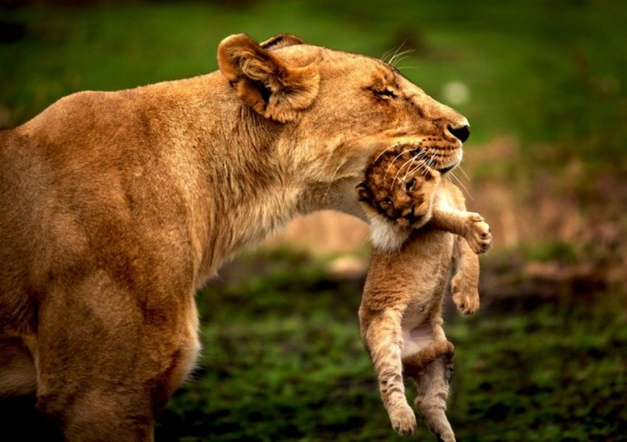 helicopter parents definition with Le Lion Et La Lionne on Beautiful Christmas Tree     Image 1024x768 Pixels in addition Classy Past moreover Draft Nhs Risk Register Leaked further Jehovahs witness witnessing shirts 235200323004147713 also Le Lion Et La Lionne.