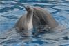 Puzzle de dauphins : les bisous