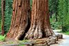 Puzzles de séquoias